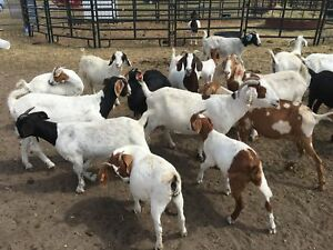 Boer Herd Sale