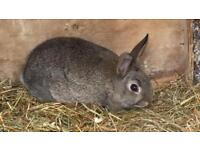 Baby and adult rabbits for sale