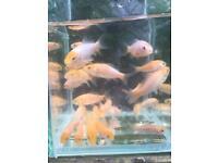 Koi carp pond fish for sale Wolverhampton