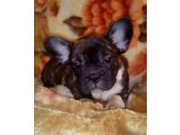 last 2 male french bulldog puppies kc registered