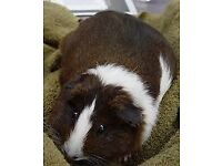 hi for sale i have a guinea pig and cage selling due to having no time for it and the guinea pig is