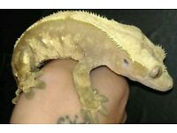 male pinstripe crested gecko lovely big boy