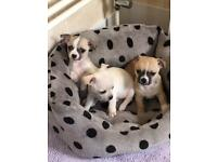 2 male puppies for sale
