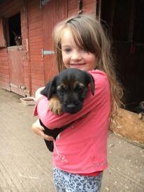 Border terrier dog puppies