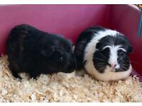 10 week old Guinea pigs for sale