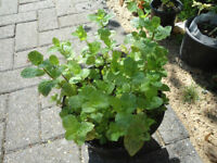 Plants for sale-Spearmint plants in a 16 cm pot