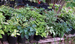 HOSTA plants: Best selection in HRM