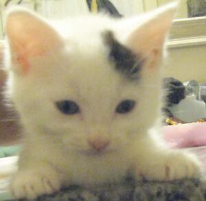 8 weeks himalayan mix female kitten 200