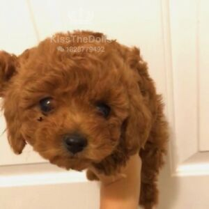 Tiny teacup red poodle girl