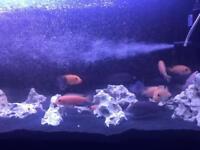 African Cichlids Malawi Fish