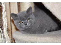 Stunning Pedigree British Shorthair Kittens -READY NOW!!
