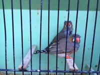 Crested cock zebra finch
