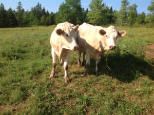 Herd of Beef Cattle For Sale