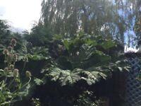 Gunnera garden plants for sale