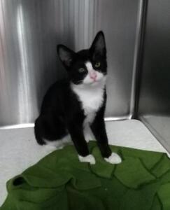 "Baby Male Cat - Tuxedo: ""Slone"""