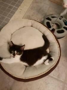 "Baby Female Cat - Domestic Short Hair (Black & White): ""Barbie"""