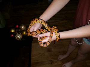 Gorgeous 1 1/2 year old Okeetee corn snake for sale