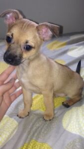 chihuahua jack russell puppy