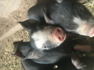 Fire Piglets for Sale!