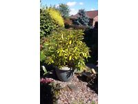 Rhodedendron bush in pot. Needs to be planted in ground outgrown present one and starting to suffer