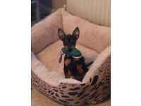 ENGLISH TOY TERRIER PUPPIES