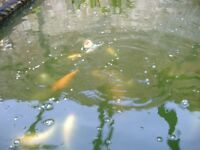 koi carp nice fish from 4 inchs from 4.99
