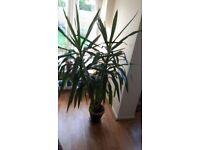 Indoor Darcaena plant