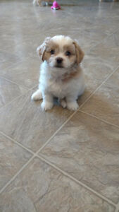 Lhasa Apso x puppies (2 SOLD AND 1 MALE AVAILABLE)