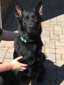 **** CKC REGISTERED BLACK GERMAN SHEPHERD - MALE - 2 YRS OLD ***