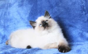 Fluffy Ragdoll kittens are available for their new homes