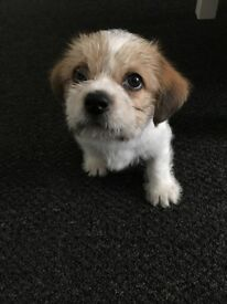 shih tzu puppy for sale £350