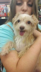 """Adult Male Dog - Yorkshire Terrier Yorkie: """"Spike"""""""