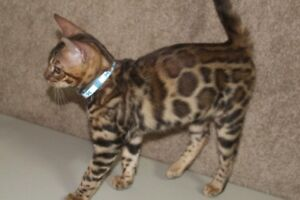 Bengal  Boy (Neutered ). Exotic toy leopards. (Registered)