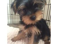 Female Yorkshire Terrier Puppy
