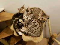 Cashmere bengal KITTENS