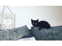 Kitten for sale £40