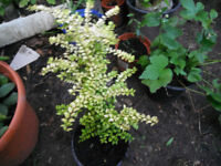Plants for sale-two Lonicera Nitida `Baggesen's Gold' plants