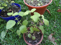 Plants for sale-lemon balm plants in a 10 cm pot