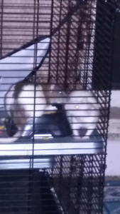 Two fancy female rats approximately 4 months old