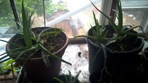 potted aloe plants. assorted sizes.