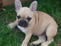 KC reg, French Bulldog Puppy - female