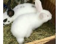 Albino minilop