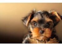 SOLD Beautiful Yorkshire Terrier Puppies