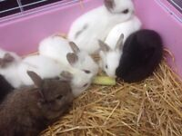 Bunnies for sale. Ready now. One black and one white. £ 15