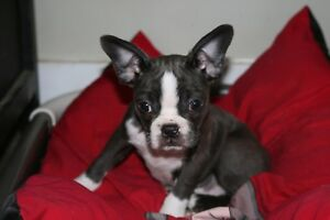 Boston terrier puppies