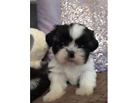 Adorable healthy SHIH TZU puppies , Ready from 27 August