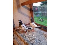 Pigeons for sale pakistani young teddys