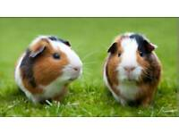 Guinea Pigs ( Give away)