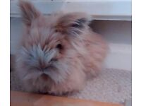 Free Lionhead Rabbit