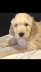 Late fall Golden doodles & Labradoodle hypo no shed medium size
